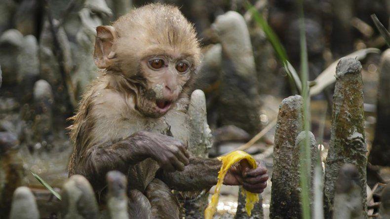 Un mono provocó un corte de electricidad en toda Kenia