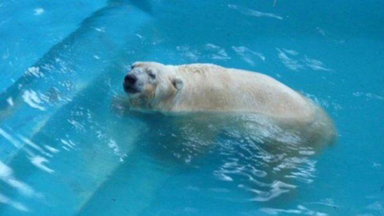 Murió el oso polar del zoológico de Mendoza