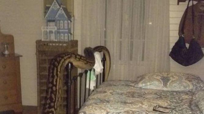 Se despertó con una pitón de más de cinco metros en su cama