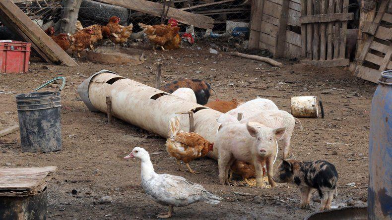 Hay familias que crían animales de granja y los vecinos no lo toleran. Además
