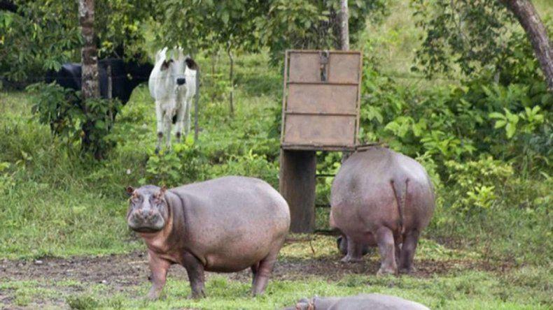 Se reprodujeron muy rápido: pueden transmitir enfermedades al ganado.