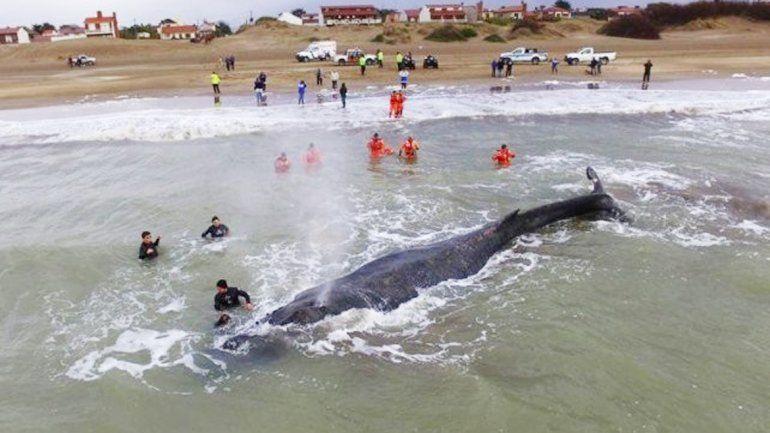 La ballena estuvo encallada 24 horas en el Partido de la Costa.