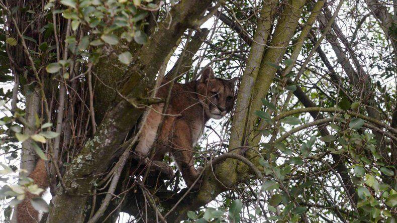 Se encontró a un puma trepado a un árbol en su vereda