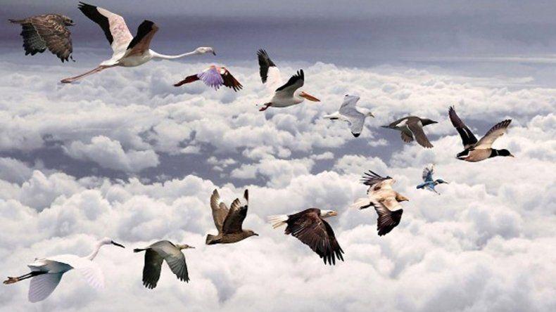 Las fragatas son grandes aves marinas que habitan en Galápagos.