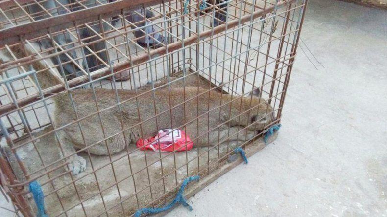 El puma cachorro fue enjaulado y llevado a una veterinaria por Fauna.