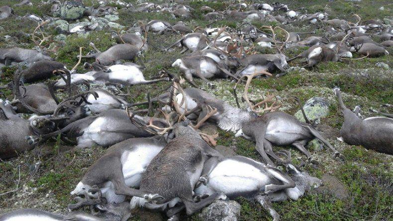 Una imagen desgarradora: los renos muertos desparramados en el suelo.