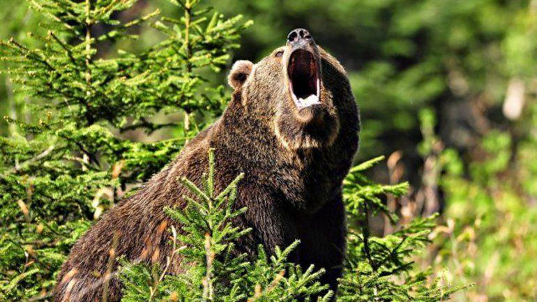 El oso negro