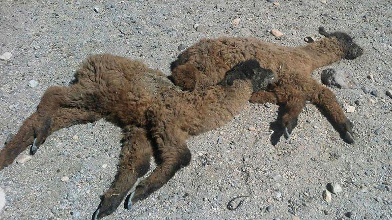 Piden asistencia para las llamas y ovejas que mueren de frío y hambre