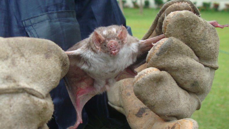 Hallan murciélagos con rabia en Villa La Angostura