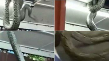 Víbora gigante cayó del techo de un restó y causó pánico
