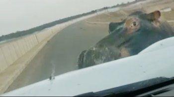 un hipopotamo vio un auto y reacciono muy mal