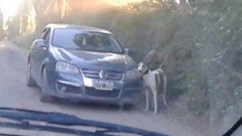 galgueros ahora arman carreras ilegales y entrenan a los perros tirando de sus autos