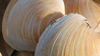 Es conocida como la almeja de Islandia. Fue hallada hace 10 años y los expertos la congelaron para comenzar a investigarla. Así determinaron su edad y la composición química de sus anillos.