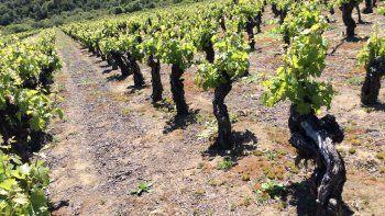 tendencia: vuelve la uva criolla ahora en vinos