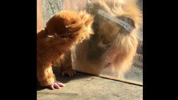 Mirá cómo reacciona un león al ver a un bebé disfrazado