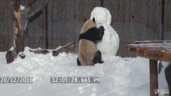 Así jugaba un panda con un muñeco de nieve