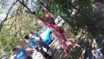 cuatro paraguayos fueron detenidos por despellejar un puma en villa farrel