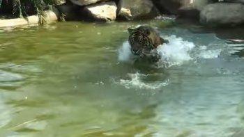 un pato desafio a un tigre de sumatra y le gano la batalla