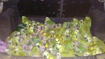 un joven transportaba 146 loros habladores en el baul