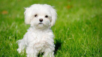¿Es un problema que mi perro no quiera ladrar?