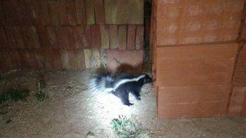 encontraron un zorrino en el patio de su casa