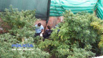 secuestraron 31 plantas de marihuana en confluencia