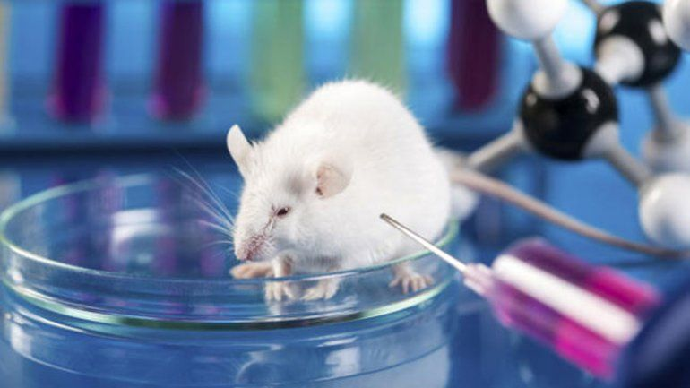 Los ratones inyectados tuvieron crías que mostraron una conducta distinta.