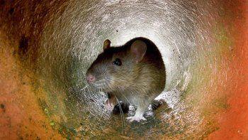 La leyenda urbana dice que hay una rata por cada habitante de la ciudad (8,5 millones). Sin embargo, un cálculo oficial habla de más de dos millones de roedores que no paran de reproducirse.