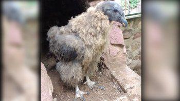 dos pichones de condor volveran a la naturaleza tras ser rehabilitados