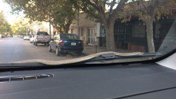Encontró una culebra en el auto y tuvo que rescatarla la policía