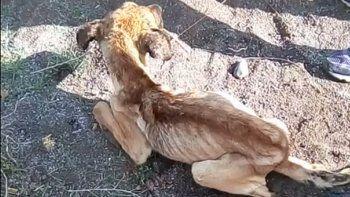rescataron en plottier a un perro desnutrido que no podia ni pararse