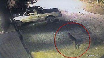 aparecio un puma merodeando en un estacionamiento