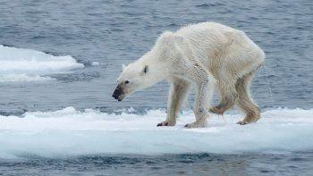 Oso polar desnutrido por los efectos del calentamiento global.