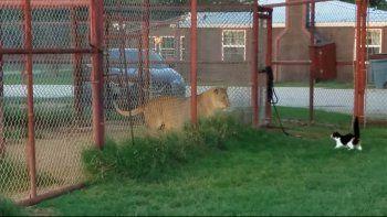 una gatita valiente desafia a una leona
