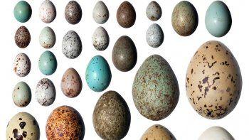 Los pingüinos no vuelan y sus huevos son asimétricos.