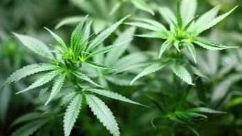 Llamo al 911 para denunciar el robo de sus plantitas de marihuana