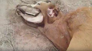 extrana muerte de una vaca en un campo: ¿es obra del chupacabras?