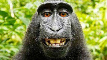 un tribunal debate si el mono naruto es el dueno de su selfie