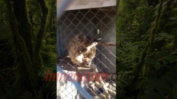 desde luan niegan maltrato: el mono sufrio un accidente