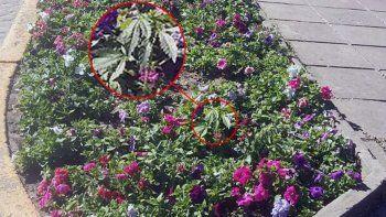 una planta de marihuana en una plaza causo revuelo