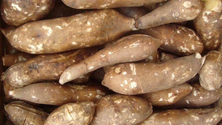 Impulsan el cultivo de yacón, un alimento ideal para diabéticos