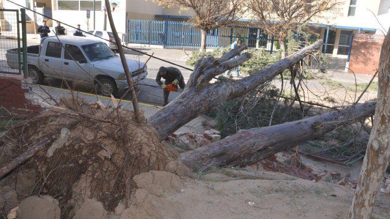 De cuajo. El añoso árbol sucumbió ante la fuerza increíble de una ráfaga.