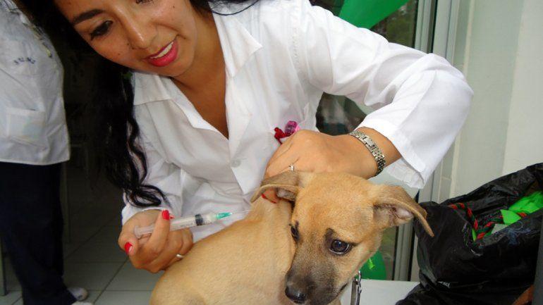 El perro es uno de los vehículos de contagio más comunes. Una vez al año hay que vacunarlo.