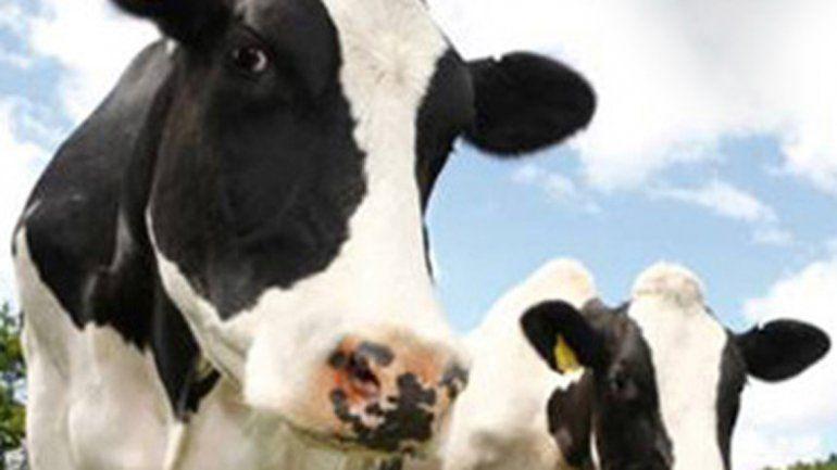 Otro filón. El estiércol de las vacas se usará para producir gas.