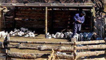 crianceros piden ayuda urgente por la muerte de sus chivitos