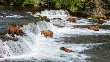 mira en vivo a los osos pescando salmones en alaska