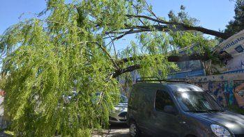 Uno de los pocos incidentes que se registraron en la capital neuquina fue la caída de este viejo árbol en la calle Carlos H. Rodríguez.