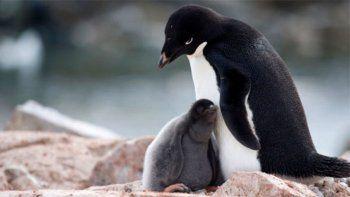 Sólo 2 crías de pingüinos de una colonia sobrevivieron en Antártida