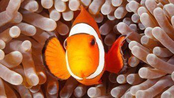 Como en la película de Disney, el pez vive en anémonas que lo protegen.