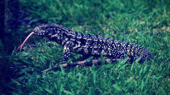 Caminaba por la ciudad de La Plata y la atacó un lagarto